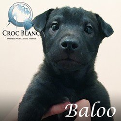 Baloo Sharpei