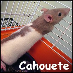Cahouete
