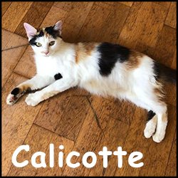 Calicotte
