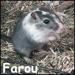 Farou