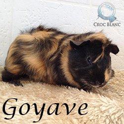 Goyave1