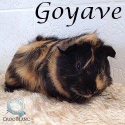 Goyave2