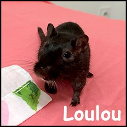 Louloute