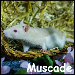Muscade