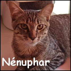 Nenuphar