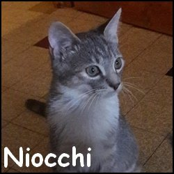 Niocchi