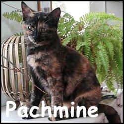 Pachmine