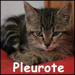 Pleurote