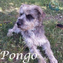 Pongo2