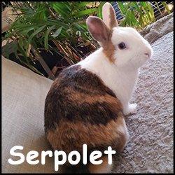 Serpolet