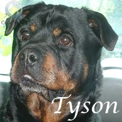 rottweiler a donner toulouse