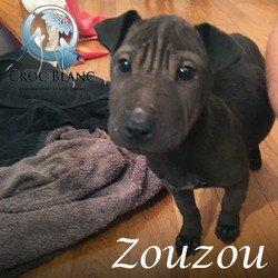 Zouzou sharpei